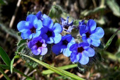 Επούλωση των πληγών με βότανα (Alkanna tinctoria)
