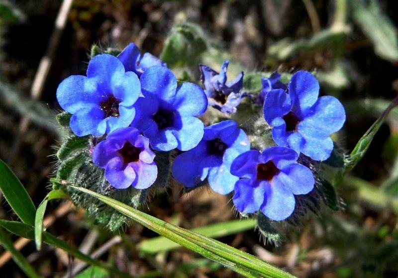 το φυτό alkanna tinctoria