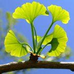 ginkgo biloba ένα από τα βότανα για τη σεξουαλική δυσλειτουργία