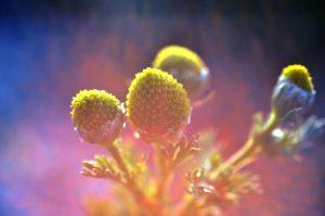 βότανα αϋπνία χαμομήλι καλλιτεχνική φωτογραφία