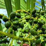 serenoa repens δημοφιλές βότανο για την καλοήθη υπερπλασία του προστάτη.