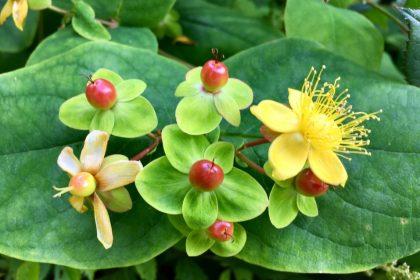 φυσικά αντικαταθλιπτικά βότανα σπαθόχορτο λουλούδι πράσινο