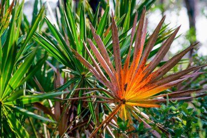 δέντρο saw palmetto για την υπερπλασία προστάτη