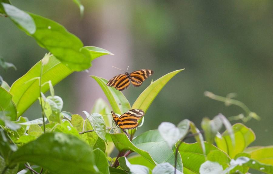 πεταλούδες που φλερτάρουν