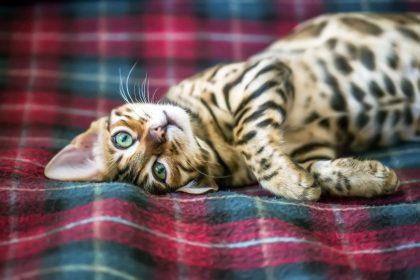χαριτωμένη επιθετικότητα γάτα Σιβηρίας ξαπλώνει σε κρεββάτι
