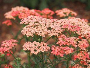 αχιλλέα λουλούδι