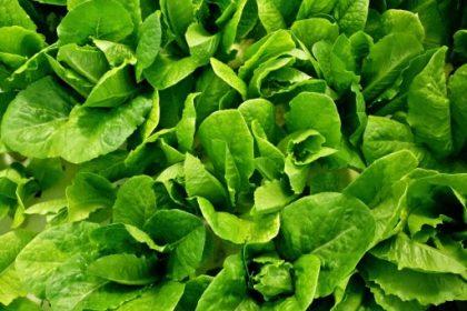 πράσινα λαχανικά μυς μαρούλι