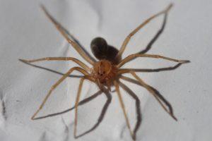 Λοξοσκελή αράχνη
