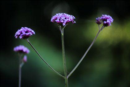 λουίζα αδυνάτισμα φυτό λουλούδια