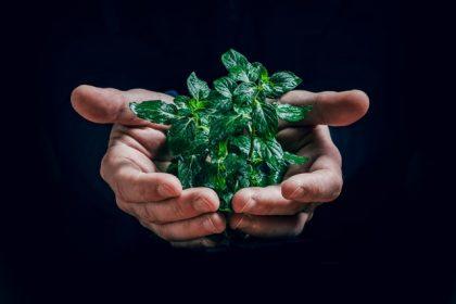 φυσικά παυσίπονα βότανα στα χέρια μέντα βασιλικός
